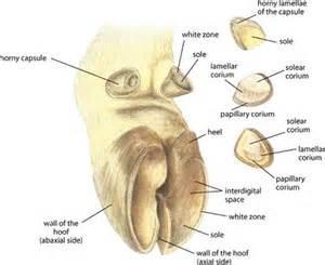 hoof anatomy