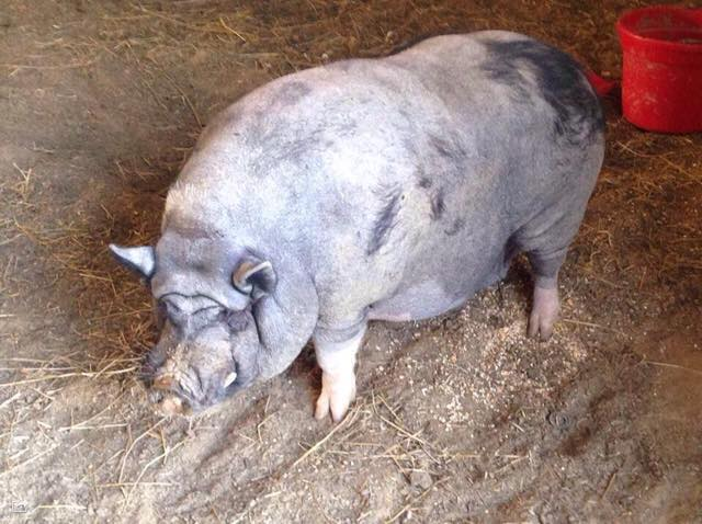 Mini Pig Breeds - American Mini Pig Association